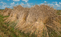 Stooks in a Field