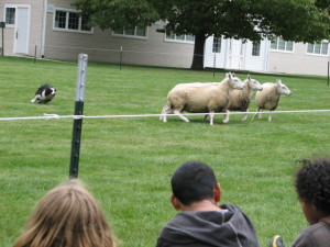 Border Collie Sheep Herding